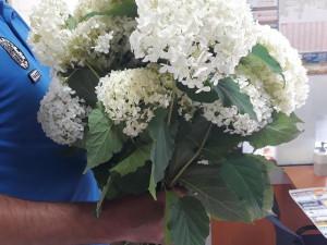 Žena si chtěla natrhat květiny v parku. Váza hortenzií jí může přijít až na 50 tisíc