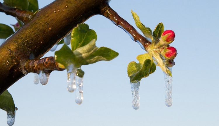 Za loňské mrazy dostanou ovocnáři od státu větší kompenzaci
