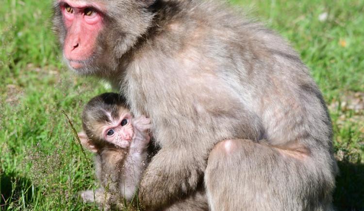 FOTO: V zoo Olomouc se narodilo další mládě makaka
