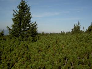 Dřevorubci v Jeseníkách vyřežou přes čtyři hektary nepůvodní borovice kleče
