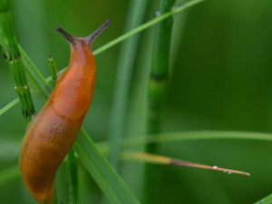 Deštivé počasí letos přeje slimákům. Ze zahrad je pomůžou dostat hlístice