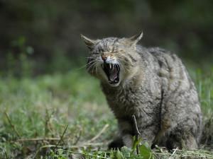 Odborníci se ve dvouletém projektu pokusí zmapovat ohroženou kočku divokou
