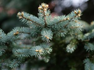 Vánoční stromky se začínají prodávat. Řetězce zahajují také on-line prodej
