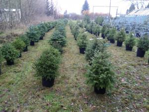 Hitem letošních Vánoc jsou půjčovny živých vánočních stromků, lidé se snaží šetřit přírodu