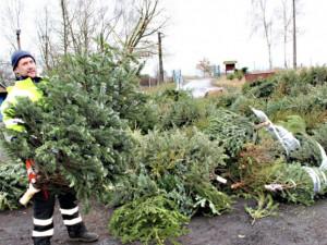 Vánoční stromky z domácností v Olomouci skončí v kompostárně. Jak postupovat?
