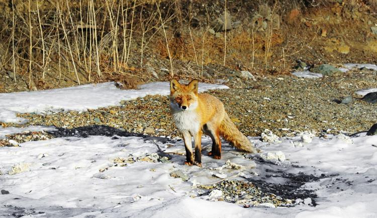 Liška přežila srážku s autem. Způsobila škodu 15 tisíc korun