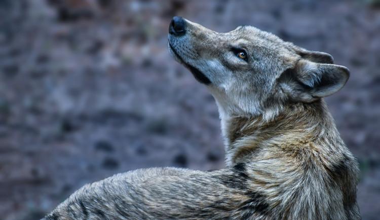V ČR je podle ochranářů 22 vlčích teritorií. Do monitoringu se zapojilo i olomoucké Hnutí Duha