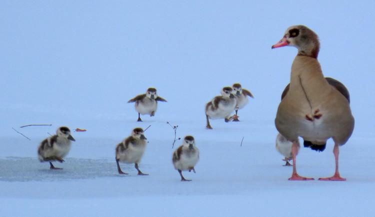 Pár husic nilských vyseděl v mrazu mláďata na rybníce v Majetíně