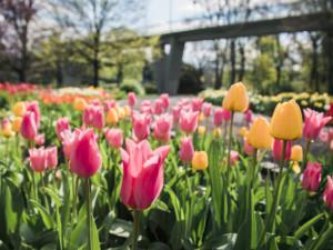 Jarní část výstavy Flora Olomouc letos nahradí venkovní zahradnické trhy