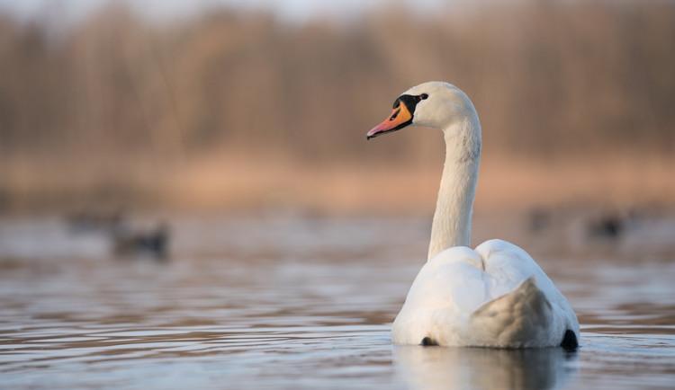 Labutě na Olomoucku mají ptačí chřipku. Přečtěte si, co dělat při nálezu uhynulého ptáka