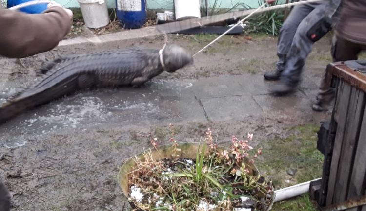 Hasiči při požáru domku v Klopině narazili na krokodýla nilského