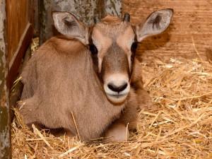 V olomoucké zoo se narodilo už sedm antilop. Další jsou na cestě