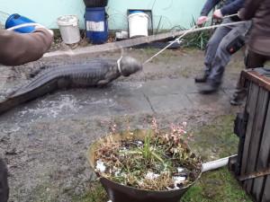 Krokodýl nilský zůstává v Klopině na Šumpersku. Chovatel zlepší podmínky