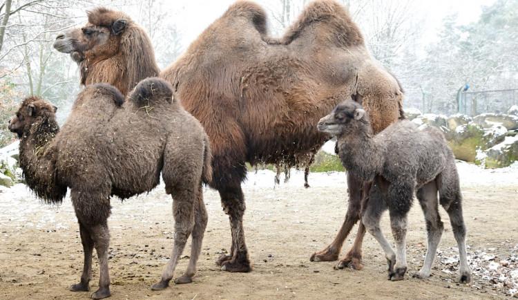 Olomoucká zoologická zahrada přivítala další velbloudí mládě
