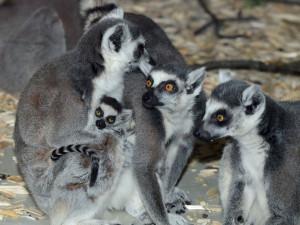 Olomoucká zoo má další mládě lemura. Chová je už téměř deset let