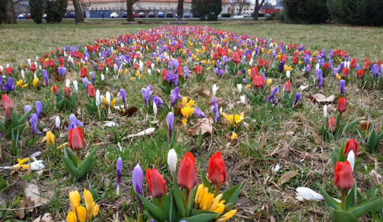 Pestrobarevné květiny zdobí Olomouc. Budou i na několika nových místech