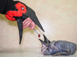 Krmení malých zoborožců v olomoucké zoo připomínalo maňáskové divadlo