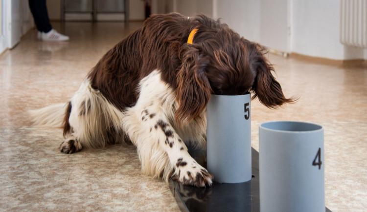 Psi odhalí covid lépe než antigenní testy, přesvědčili se olomoučtí lékaři