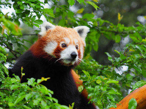 Olomoucká zoo získala z Francie dva samce ohrožené pandy červené