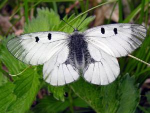 Dolní Žleb u Šternberka si oblíbil chráněný motýl jasoň dymnivkový