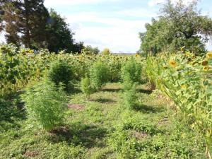 Na Litovelsku policie sklidila patnáct rostlin konopí. Pěstitelům hrozí pět let