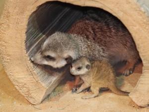 Nový přírůstek pro kolonii surikat. Zoo Olomouc vítá další mládě