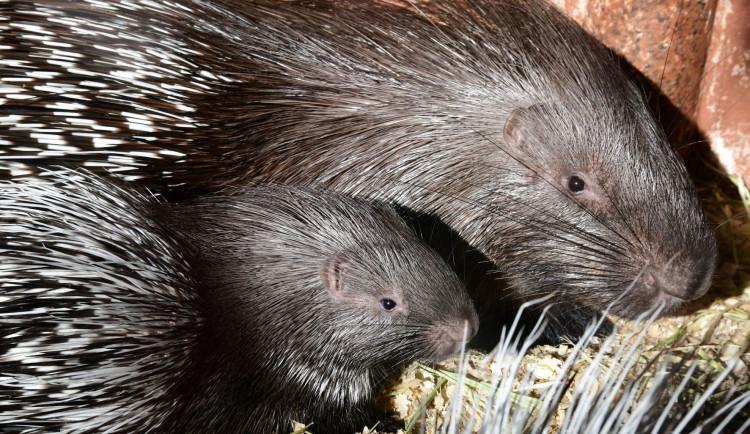 Olomoucká zoo přivítala mláďata dikobrazů. Narodilo se jich hned osm