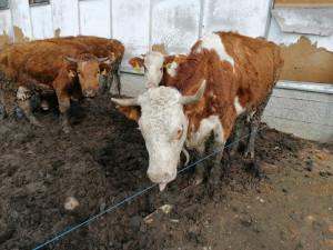 Soud rozplétá kauzu týraní zvířat na farmě Kozí Hrádek. Hladový skot žil v bahně a výkalech