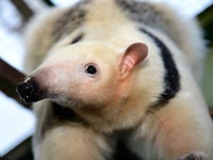 Samice mravenčíka Calamity z Frankfurtu nad Mohanem se zabydluje v olomoucké zoo