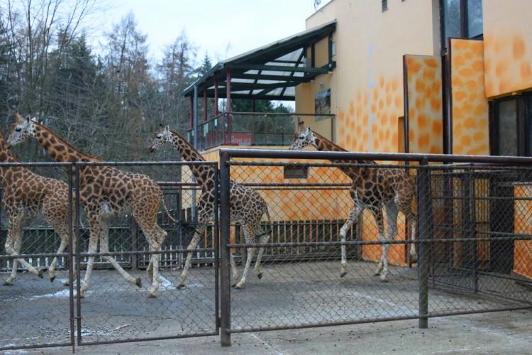 Den s ošetřovatelem: Zoo má dvě tváře. Zvířata se chovají jinak, když i my jdeme domů