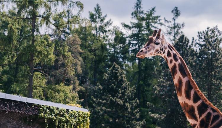 FOTOGALERIE: V olomoucké zoo se narodila žirafa. Toto jsou její první krůčky